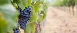 Photo for: Time for a collective effort if the wine industry is to tackle climate change