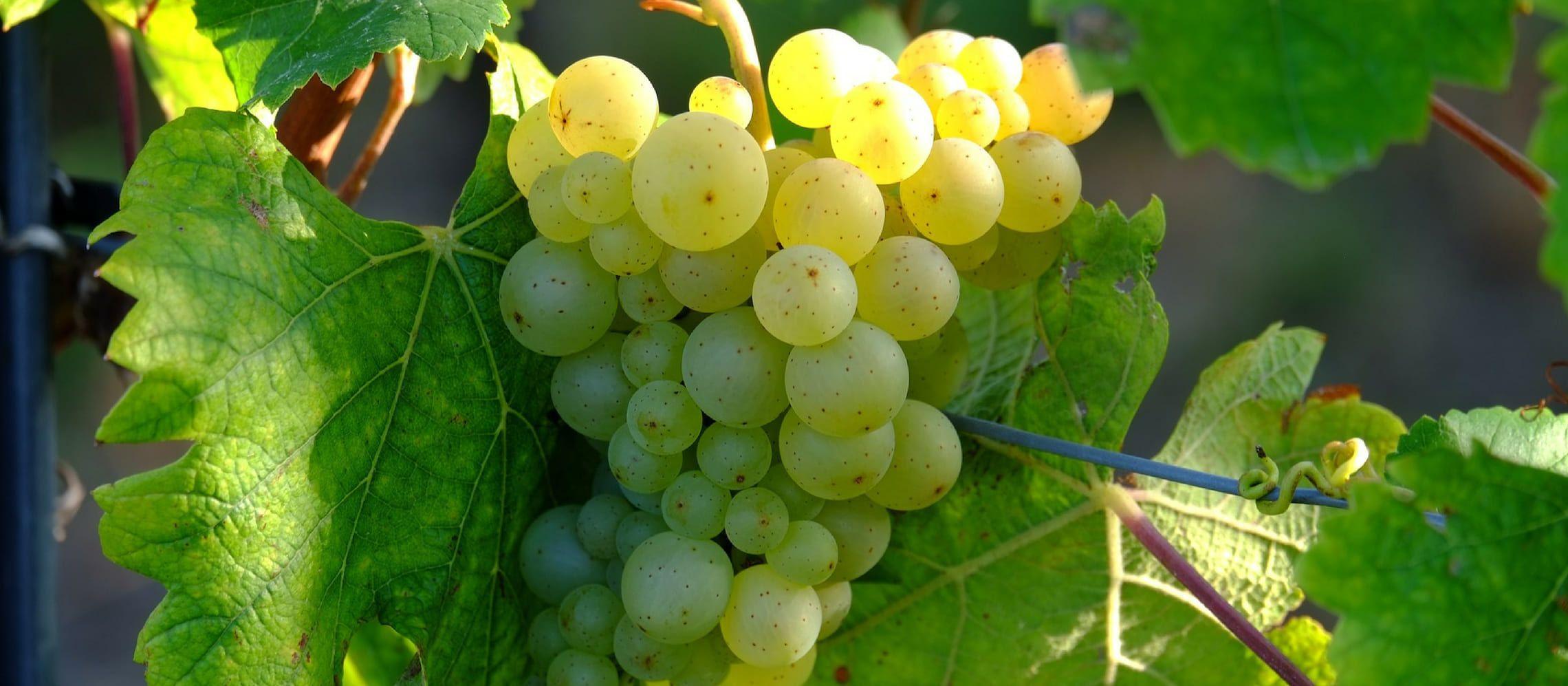 Photo for: Italian Grape Varieties – White Wine